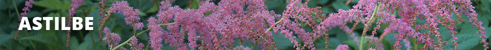 Search Results for : PERENNIALS ASTILBE