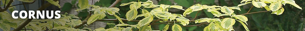 Search Results for : SHRUBS CORNUS