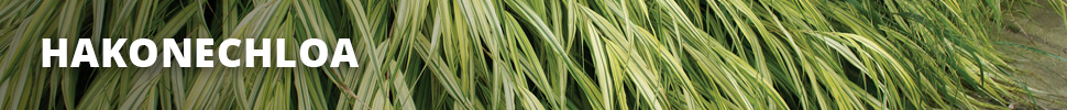 Search Results for : GRASSES HAKONECHLOA