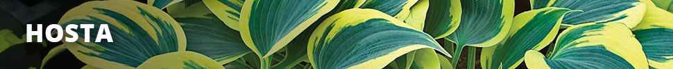 Search Results for : PERENNIALS HOSTA