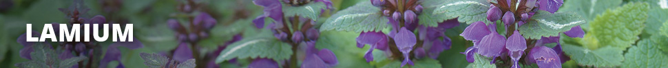 Search Results for : PERENNIALS LAMIUM