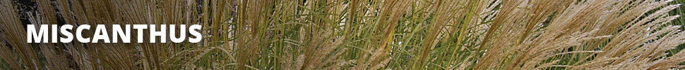 Search Results for : GRASSES MISCANTHUS