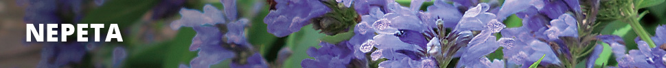 Search Results for : PERENNIALS NEPETA