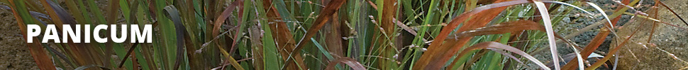 Search Results for : GRASSES PANICUM