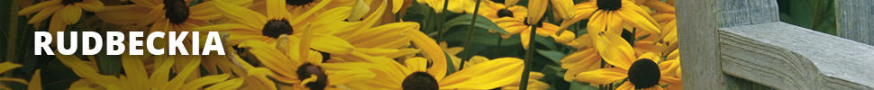 Search Results for : PERENNIALS RUDBECKIA