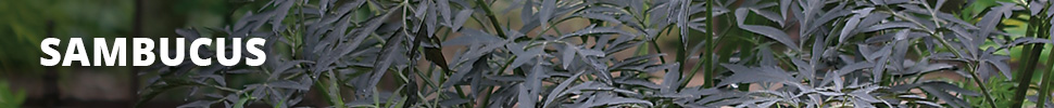 Search Results for : SHRUBS SAMBUCUS
