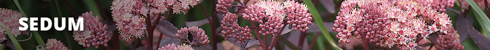 Search Results for : GROUNDCOVER SEDUM