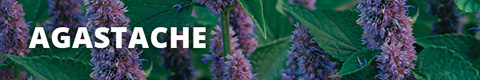 Search Results for : PERENNIALS AGASTACHE