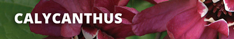 Search Results for : SHRUBS CALYCANTHUS