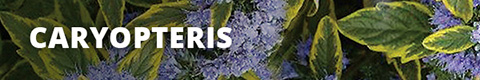 Search Results for : SHRUBS CARYOPTERIS