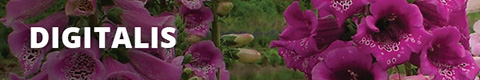 Search Results for : PERENNIALS DIGITALIS