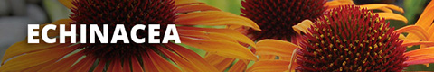 Search Results for : PERENNIALS ECHINACEA
