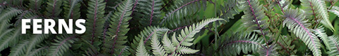 Search Results for : PERENNIALS FERN