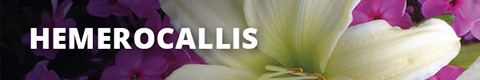 Search Results for : PERENNIALS HEMEROCALLIS
