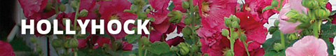 Search Results for : PERENNIALS HOLLYHOCK