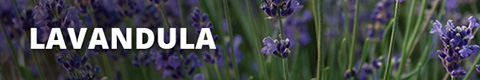 Search Results for : PERENNIALS LAVANDULA
