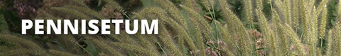 Search Results for : GRASSES PENNISETUM
