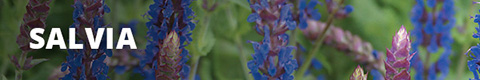 Search Results for : PERENNIALS SALVIA