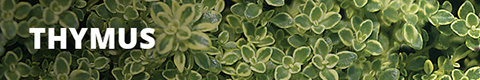 Search Results for : GROUNDCOVER THYMUS