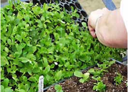 Seedlings being shifted