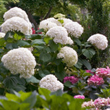 Smooth Hydrangeas