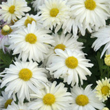Single Flowered Daisy Mums