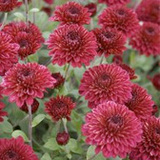 Spectacular Cushion Mums