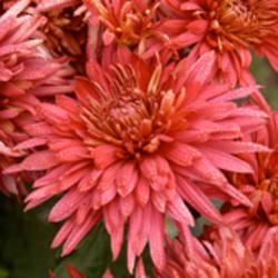 Large Flowered Garden Mums