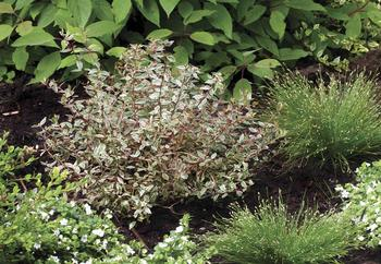 SHRUB Fantastic foliage plus reblooming white flowers
