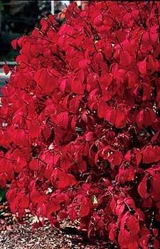 Euonymus alatus compactus - available from Bluestone Perennials