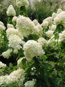 modern country style the top ten best green hydrangeas. Black Bedroom Furniture Sets. Home Design Ideas
