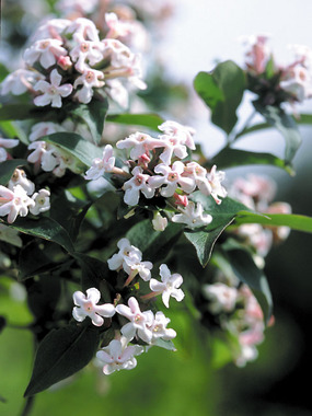 SHRUB. Wonderfully spring fragrant with orange-red fall leaves.