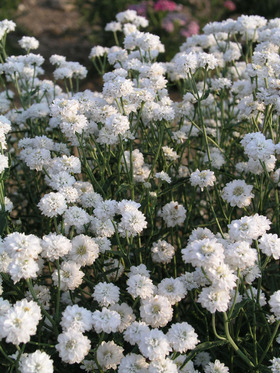 White, Baby's-Breath type blooms all summer