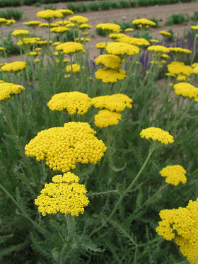Yellow heads and grayish-green leaves. Good dried flower.