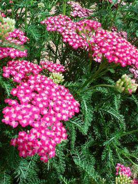 Shades of purple and white. Improved hybrid Yarrow.