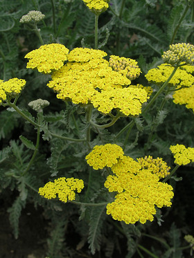 FERNLEAF YARROW. Sulphur yellow flowers, shorter plants.