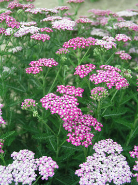 Deep green ferny foliage and vibrant pink flower heads.