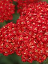 Achillea Pretty Woman
