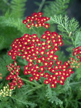 Photo of Achillea Milly Rock Red