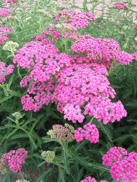 Wine pink, a Bluestone selection hybrid Achillea.