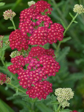 Long blooming non-fading red flowers with deep green ferny foliage.