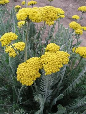 FERNLEAF YARROW. Deep gold flowers with silver foliage.