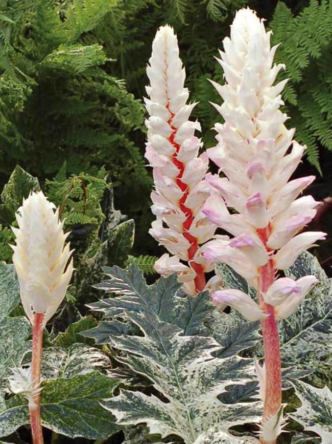 Acanthus Whitewater