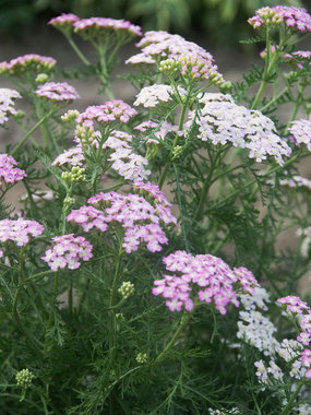 Compact, long blooming pink tones with grey-green foliage.