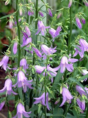 LADYBELLS. Tall spikes of amethyst blue all summer.