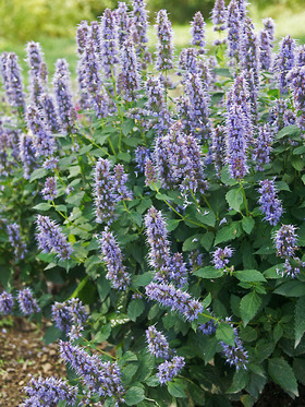 Anise Hyssop - covered in blue violet flower spikes