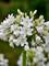 Agapanthus Galaxy White