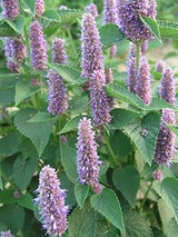 Agastache Honey Bee Blue