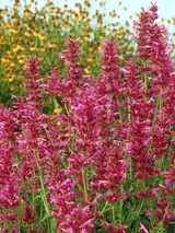 Agastache Heat Wave
