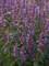 Agastache Purple Haze